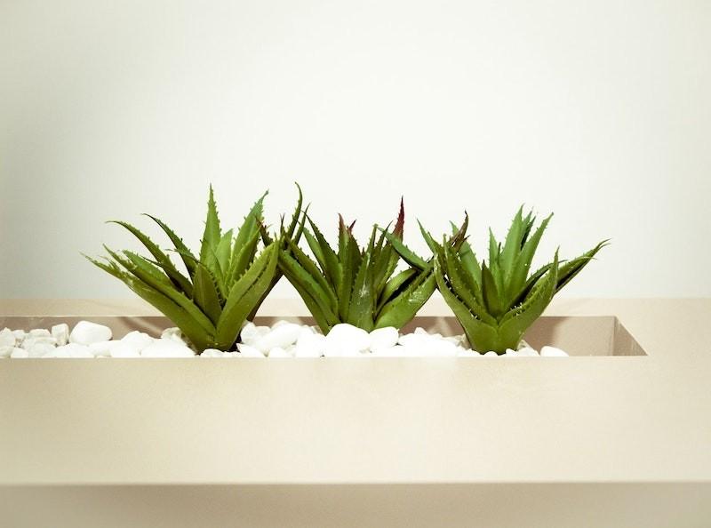 Aloe vera plants in a decorative pot