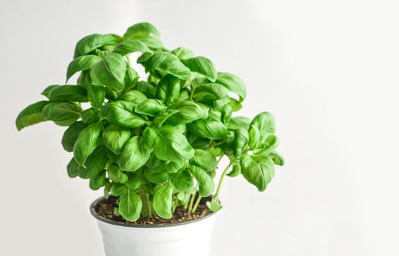 A Basil Plant